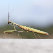 mantis-france