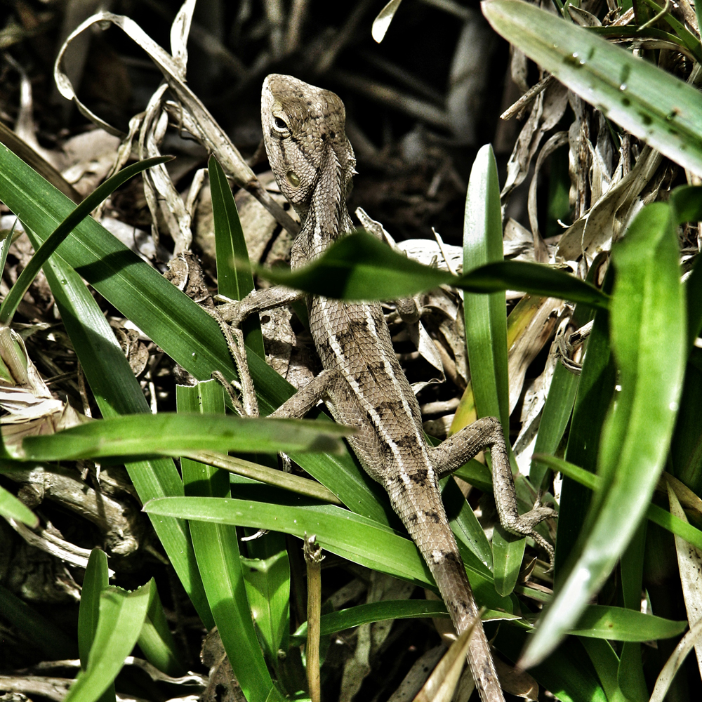 la-reunion-gecko