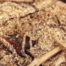 new-caledonia-beach-crab