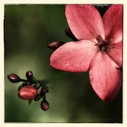 new-caledonia-blossom2