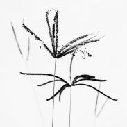 new-caledonia-weed