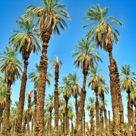 usa-palmtrees