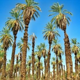 usa-palmtrees