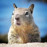 usa-squirrel