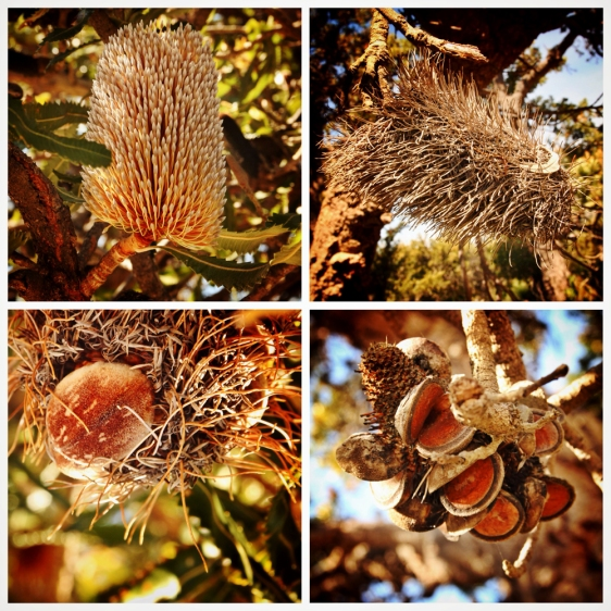 Banksia flower stages