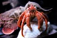 tarlton-crayfish copy