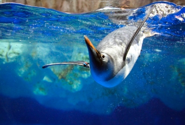 tarlton-gentoo-penguin2 copy