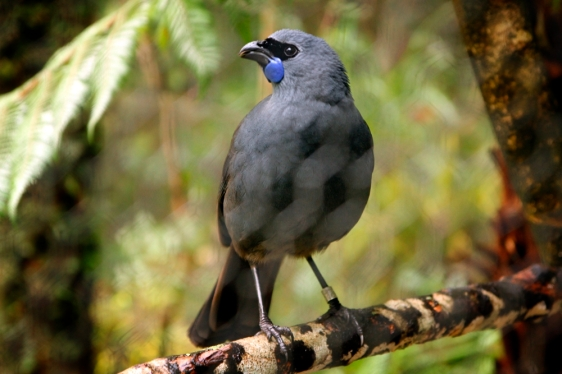 Rare Bird Kokako Mt Bruce New Zealand
