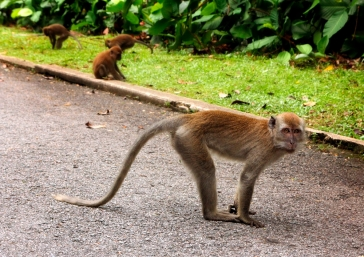 singapore macaque