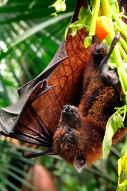singapore zoo fruit bat