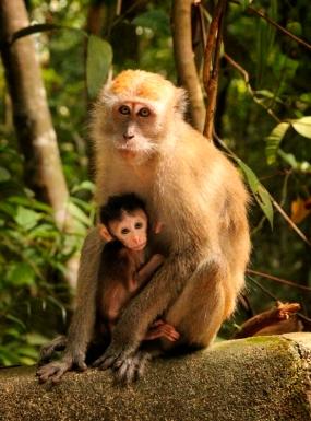 singapore macaque