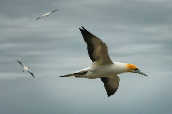 muriwai-gannet-colony-auckland-newzealand