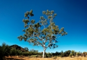 northern territory ghost gum