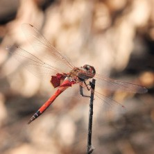 northern territory dragonfly