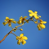 northern territory blossoms