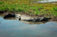 northern territory crocodile