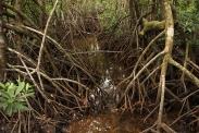 Mangrove Forest, Australia
