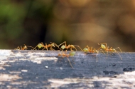Daintree Ants, Australia