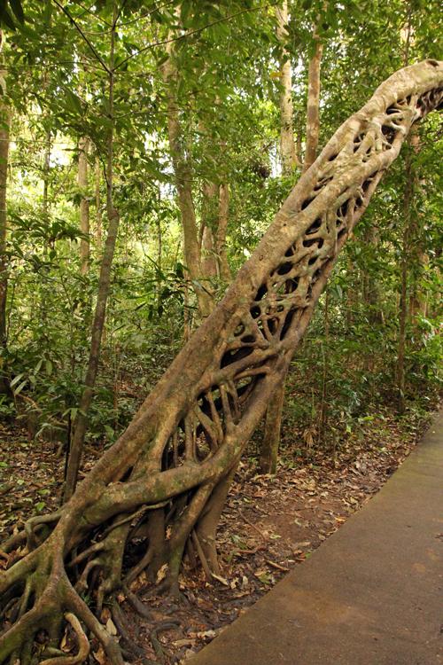 Fig Tree Daintree, Australia