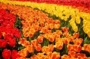 keukenhof-holland-tulips01