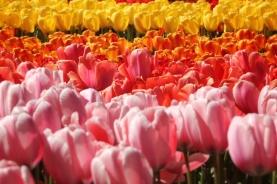keukenhof-holland-tulips02