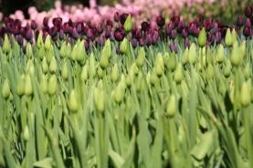 keukenhof-holland-tulips03