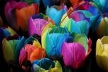 keukenhof-holland-tulips04
