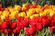 keukenhof-holland-tulips06