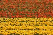 keukenhof-holland-tulips08