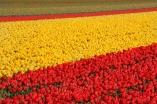 keukenhof-holland-tulips09