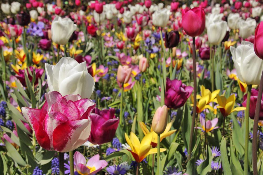 keukenhof-holland-tulips17