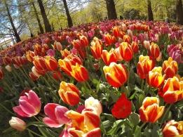 keukenhof-holland-tulips18
