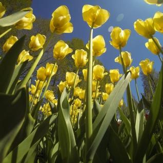 keukenhof-holland-tulips19