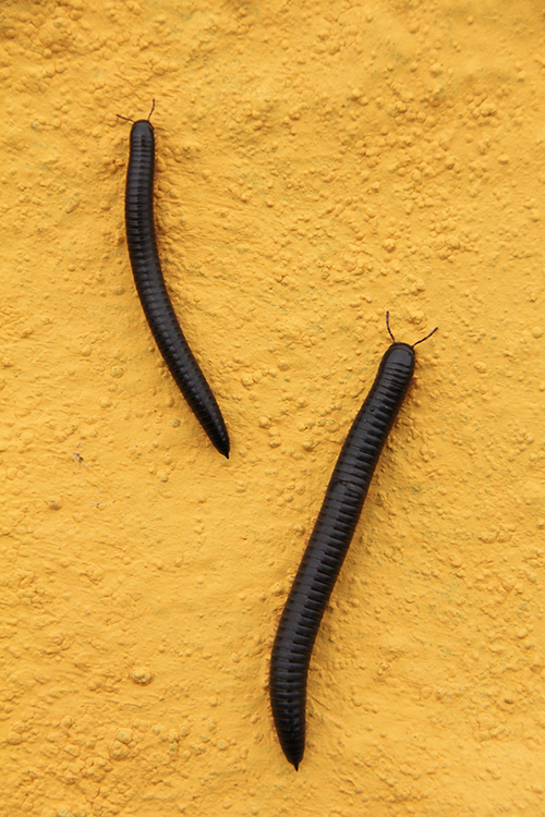 Worms, El Hierro