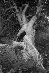 Juniper tree, El Hierro