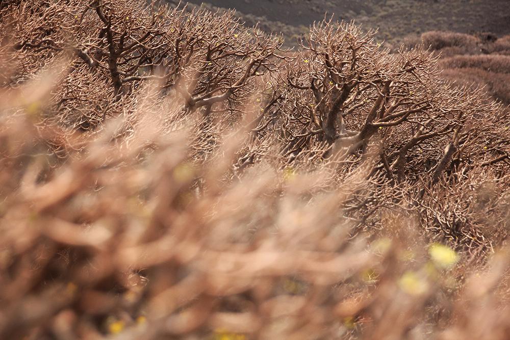 El Hierro Plants