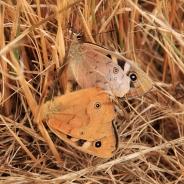 mating butterflies Tasmania