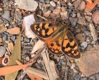brown butterfly Tasmania