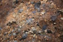 Tasmania fossils